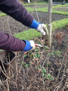 Pruning fruit bushes
