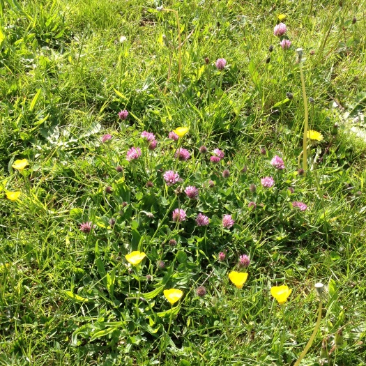 Buttercups and clover