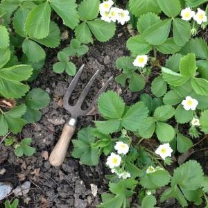 Hand fork in strawberry plot