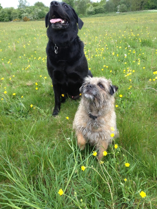 Labrador and border terrier