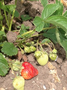 Strawberries on the allotment